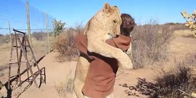 Leoa acha que é um gatinho e abraça homem com todo carinho